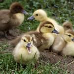 """""""duck tales"""" by jackimroczkowski"""