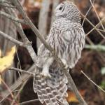 """Barred Owl Stretching"" by twostarphotography"