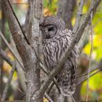 """Sad Barred Owl"" by twostarphotography"