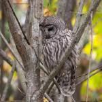 """Sad Barred Owl"" by twostarphotography"