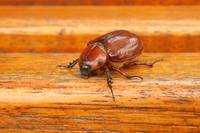 Female Rhinoceros Beetle on a Bench