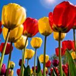 """Tulip Rainbow"" by robgerman"