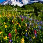 """Mt. Rainier wildflowers 2012"" by robgerman"