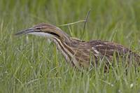 American Bittern Looking for Breakfast