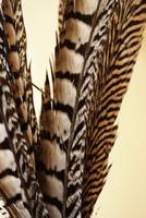 Wild - Photograph of Pheasant Bird Feathers