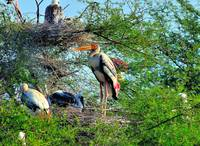 Proud India Stork Mother/Father
