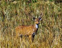 Male Deer Camouflaged