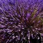 """Lavender"" by FloLi"