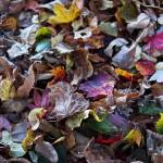 """Multicolored Autumn Leaves"" by RonaBlack"