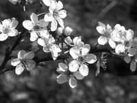Plum blossoms black and white
