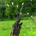 """Cattle Egret Tree"" by TealWingPhotography"