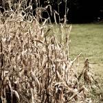 """""""Corn"""