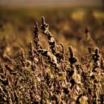 """Grains of Fall"" by CCYPhotography"
