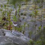 """Spotted Sandpiper"" by photohunter"