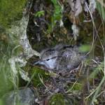 """Hiding Spotted sandpiper fledgling"" by photohunter"
