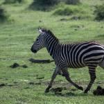 """Running zebra in Lake Manyara Park"" by photohunter"