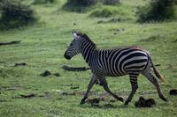 Running zebra in Lake Manyara Park