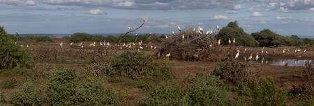 Yellowbilled Storks in Lake Manyara Park