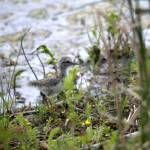 """Spotted Sandpiper fledgling"" by photohunter"