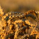 """Wheat"" by GregoryPleau"