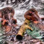 """Hippopotami Playing in Water with Branch"" by AndreHugosPlace"
