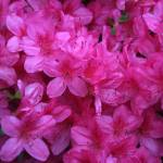 """""""Pink Rhododendron close"""" by photohunter"""