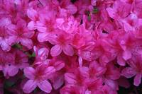 Pink Rhododendron close