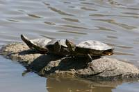 Red-eared sliders taking sunbath