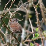 """Song Sparrow in bushes"" by photohunter"