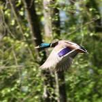 """Flying mallard"" by photohunter"
