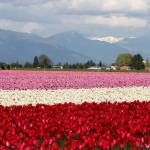 """Tulip festival in Scaggit valley #3"" by photohunter"