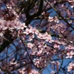 """""""Sakura #2"""" by photohunter"""