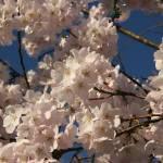 """""""Sakura #3"""" by photohunter"""