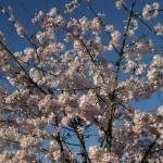 """""""Sakura #4"""" by photohunter"""