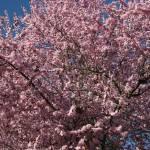 """""""Sakura #1"""" by photohunter"""