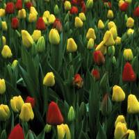 Spring Tulips by Jim Crotty