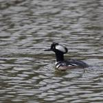 """Hooded Merganser"" by photohunter"