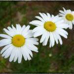 """Three Daisies"" by GiorgettaMcRee"