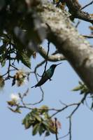 Sparkling Violetear Hummingbird on a Branch