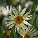 """Island Park Sunflowers"" by GregStringham"