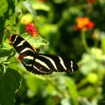 """Zebra Wing Butterfly"" by TealWingPhotography"