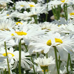 """White Daisy Flowers art prints Summer Garden"" by BasleeTroutman"