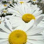 """""""Daisies Floral Art Prints White Daisy Flowers"""" by BasleeTroutman"""
