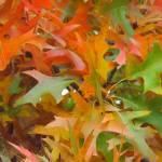 """Oak Leaves"" by privera"