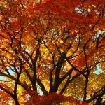 """Autumn Maple Tree Westboro MA"" by bavosiphotoart"