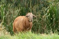 Sheep Standing by a Gully