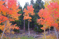 Red Aspens on Peak to Peak Highway