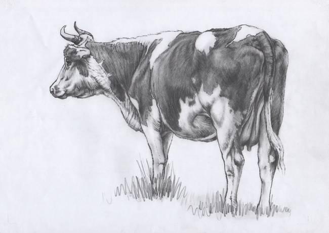 Cow Pencil Sketches Backward Cow Sketch by