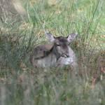 """""""Fallow Deer"""" by spottydog06"""