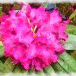 """Rhododendron at the Tulip festival"" by MikeNichol"